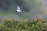 Ruppel's Warbler