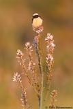 Cyprus Wheatear