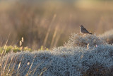 Eastern Rufous-tailed Scrub Robin