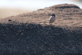 Iberian Grey shrike