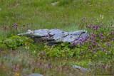 Ring Ouzel ssp. alpestris