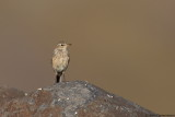 Water Pipit ssp. coutelli