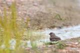 Trumpter Finch