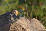 Common Rock Thrush