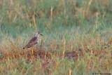 White-tailed Lapwing