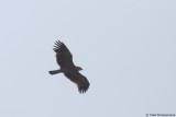 Eastern Imperial Eagle