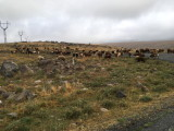 Common sight in Armenia - cows everywhere
