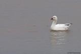 Ross' Goose