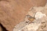 Levant Scrub Warbler