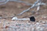 Black Scrub Robin