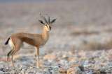 Dorca's Gazelle