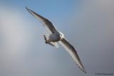 Ross' Gull