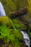 Wahkeena falls tree stump