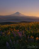 Wildflowers and sunset on Mt Hood