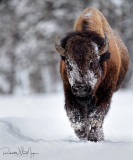 Bison Rumbling
