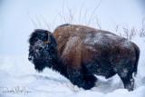 Bison Scenic