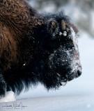 Bison Portait