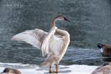 Trumpeter Swan - Signet