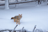 Coyote Munch