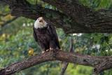 Eagle Portrait 2
