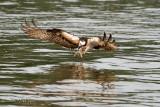 Osprey Catching