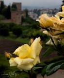 Rose Blooms 2