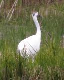 Whooping Crane  11-8-18