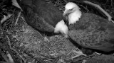 Jan 5, eagle parents on nest, rebuilding & getting ready