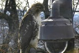 Jan 15 Red tailed hawk by one of the cameras