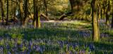 Burton Bushes Bluebells IMG_1306.jpg