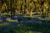 Burton Bushes Bluebells IMG_1322.jpg