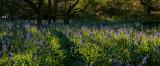 Burton Bushes Bluebells IMG_1338.jpg