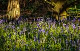 Burton Bushes Bluebells IMG_1339.jpg
