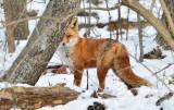 Red-Fox---610_1654.jpg