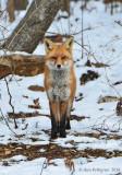 Red-Fox---610_1688.jpg