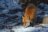 Red-Fox---610_1734.jpg