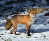 Red-Fox---610_1749.jpg