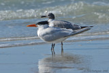 Caspian Tern with Laughing Gull