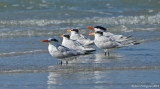 Four Royals and a Caspian Tern