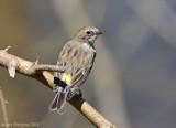 Yellow-rumped Warbler - Female