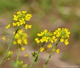Black-Mustard------Lanc-Co.---610_6734.jpg