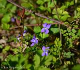 Blue-Violet---Lanc.-Co.---610_6733.jpg