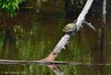 Aquatic Turtle sp.