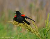 Red-winged Blakbird