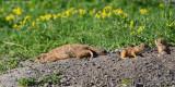 Black-tailed Prairie Dogs