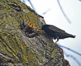 European Starlings