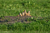 Young Black-tailed Prairie Dogs
