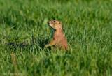 Prairie Dog Sentinel
