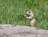 Young Black-tailed Prairie Dog