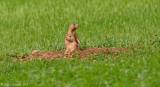 Black-taled Prairie Dog